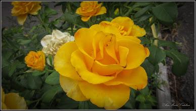 Photo: Trandafir (Rosa)  - din Turda, Str. Panselutelor - 2019.07.17