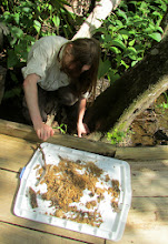 Photo: Brian searching a carpenter ant nest.