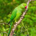 Rose-ringed Parakeet, ringed-neck parakeet