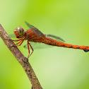 Libélula (Dragonfly)