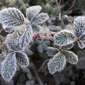 winter by Marijana Gašpić - Nature Up Close Leaves & Grasses ( #frost #winter )