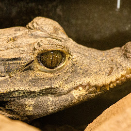 Snapper by Helen Andrews - Animals Reptiles ( #crocodile #reptile #snappy #exoticzoo #telford )