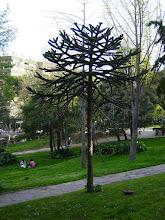 Photo: Ejemplar de Araucaria del parque del Retiro (Madrid)