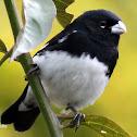 Espiguero negriblanco - Black-and-white Seedeater