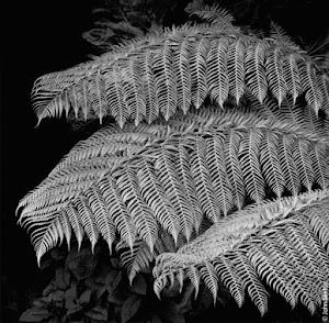 bladeren van een varen (zwart-wit)