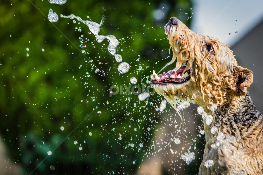Water Snapper by Nardus Taljard - Animals - Dogs Playing ( water, playful dog, dog in water, dog having fun, dog )