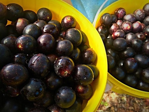Wash and remove stems from your grapes and cut  in half,  remove...