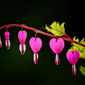 Bleeding Hearts by Garces & Garces - Flowers Flowers in the Wild ( wildflower, bleeding hearts, flower )