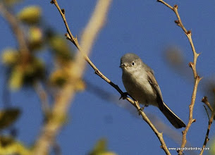 Photo: Blue-gray Gnatcatcher wintering in Nuevo Vallarta