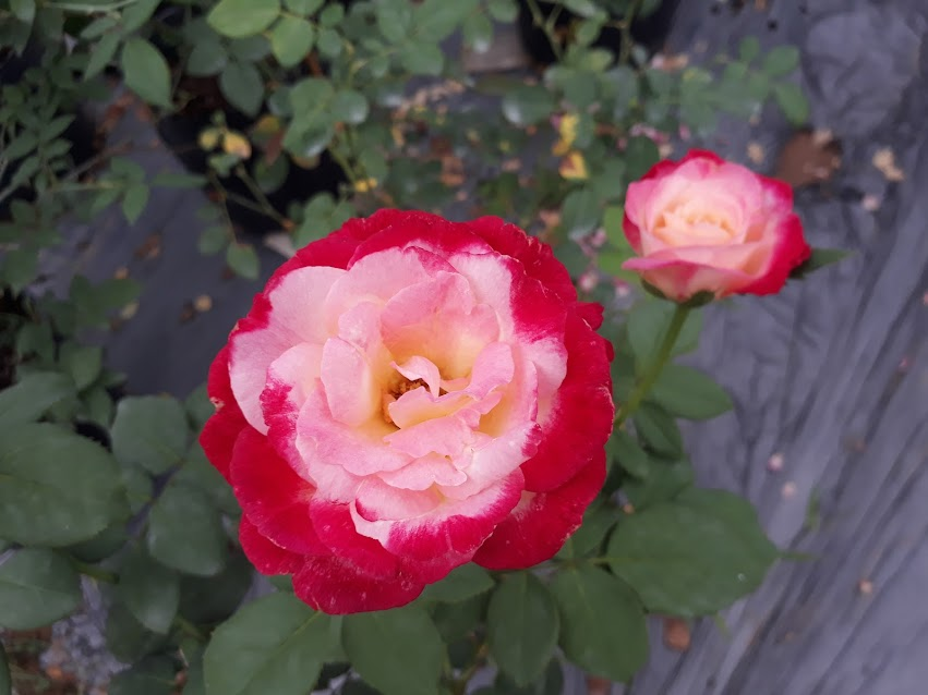Ở phần rìa cánh hoa của hồng Double Delight rose có sự thay đổi màu sắc có phần khác nhau ở mỗi bông hoa. Có bông phần rìa màu hồng nhạt, có bông thì màu hồng sậm, hoặc đỏ, phần trung tâm phớt hồng hoặc hồng nhạt