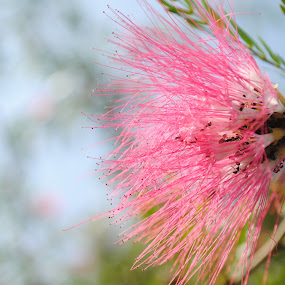 Ants on sweet Nectar by Pramesh Pokharel - Nature Up Close Flowers - 2011-2013 ( best, pink, ants, pipes, flower )