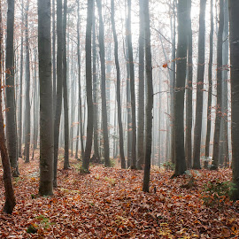 Forest. by Miro Trimay - Landscapes Forests ( slovak forest, autumn, slovak nature, trees, forest )