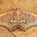 Magma moth