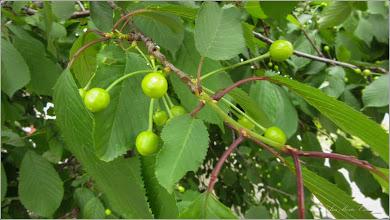 "Photo: Vișin (Prunus cerasus)  - Turda, Piata Romana zona,  bloc ""O""  - 2019. 05.16"