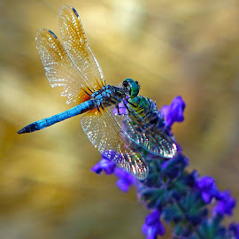 Dragon Fly by Dee Haun - Animals Insects & Spiders ( 2017, animals, dragon fly, 170519x7967ce1, blue green, insects, green head, close-up,  )