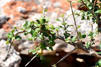 Photo: Olea europaea