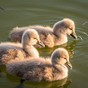Swan babies by Andrej Kozelj - Animals Birds ( water, swans, babies, wild, animals, peaceful, waterscape, green, beautiful, wildlife, lake, birds, bird, nature, peace, swan, brown, baby, animal )