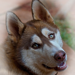 Lovely Luke by Helen Nickisson - Animals - Dogs Portraits ( doggy smile, siberian husky, cappuccino, pets, fur, husky, dog portrait, smile, dog )