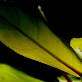 by Shibalik Choudhury - Nature Up Close Gardens & Produce ( plant, veinsofleaf, macro, life, nature, green, leaf, always_beautiful, low_light, closeup,  )