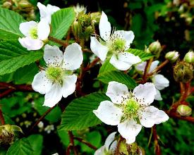 Photo: Blackberry blossoms