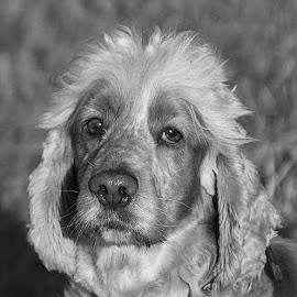 Oscar by Chrissie Barrow - Black & White Animals ( monochrome, black and white, pet, stare, ears, fur, grey, dog, mono, nose, portrait, eyes, animal )