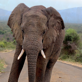 Elephant at Marakele Nature Reseve by Danette de Klerk - Animals Other Mammals ( nature, mammal, elephant, photography, wildlife )