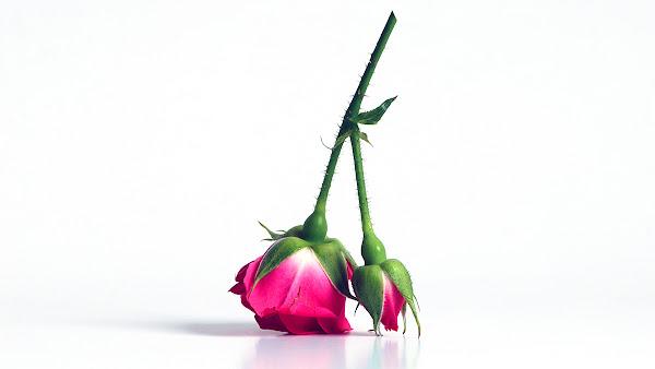 <p> Pink Rose</p>