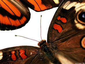 Photo: Detail of Heliconius Ismenius, top left, and junonia coenia, bottom right. Common names- long wing, top left, and buckeye, bottom right. [ butterfly or butterflies ]