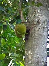 Photo: Jackfruit Bawa's Place MATALE Sri Lanka