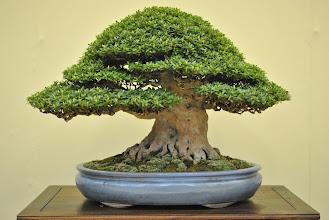 Photo: Bonsai at: http://www.bonsaiempire.com/gallery/taikan-ten-2011