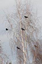 Photo: Carrion Crow (Rabenkrähe); Radebeul, DE