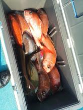 """Photo: """"ハマさん""""の釣果!真鯛9枚、イサキ、オナガでした!"""