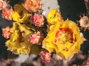 Photo: Hot Flowers in a Hot Place Prickly Pear Cactus Bouquet  In the Golden Hour the rich yellow and red tones of these prickly pear flowers are still vibrant against the high contrast in light and shadow. For Floral Friday, curated by +Tamara Pruessner+Kiki Nelson+Eustace Jamesand +Beth AkermanHave some Friday cheer with a look at #floralfriday  #cactusflowers  #flowerphotography  #flowerpower  #pricklypear  #phoenixaz  #colorsonfriday