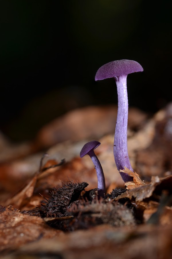 Purple by Nick Vanderperre - Nature Up Close Mushrooms & Fungi ( , Mushroom )