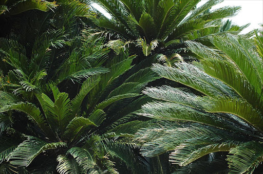 Cycads. File picture