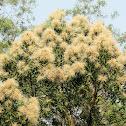 Castanopsis fissa 黧蒴錐