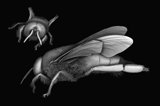 Scanning electron microscope images of the honey bee, Apis mellifera. Image: Dr. James Weaver (Wyss Institute, Harvard University)