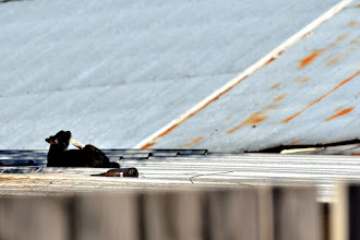 Photo: Roof cat.