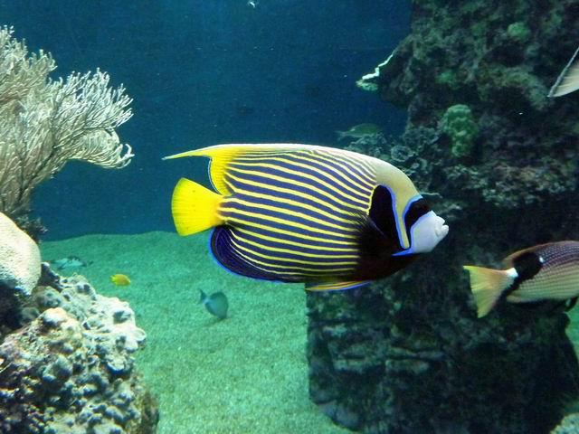Photo: Poisson-Empereur en Nouvelle-Calédonie