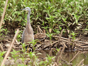 Photo: White-faced Heron and Latham's Snipe