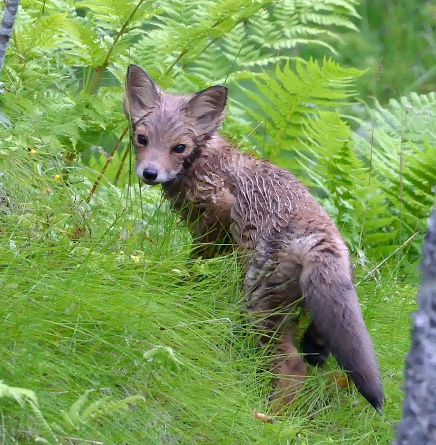 Foxcub out of the river by Marius Birkeland - Animals Other Mammals ( red, fox, mammal, cub, animal )