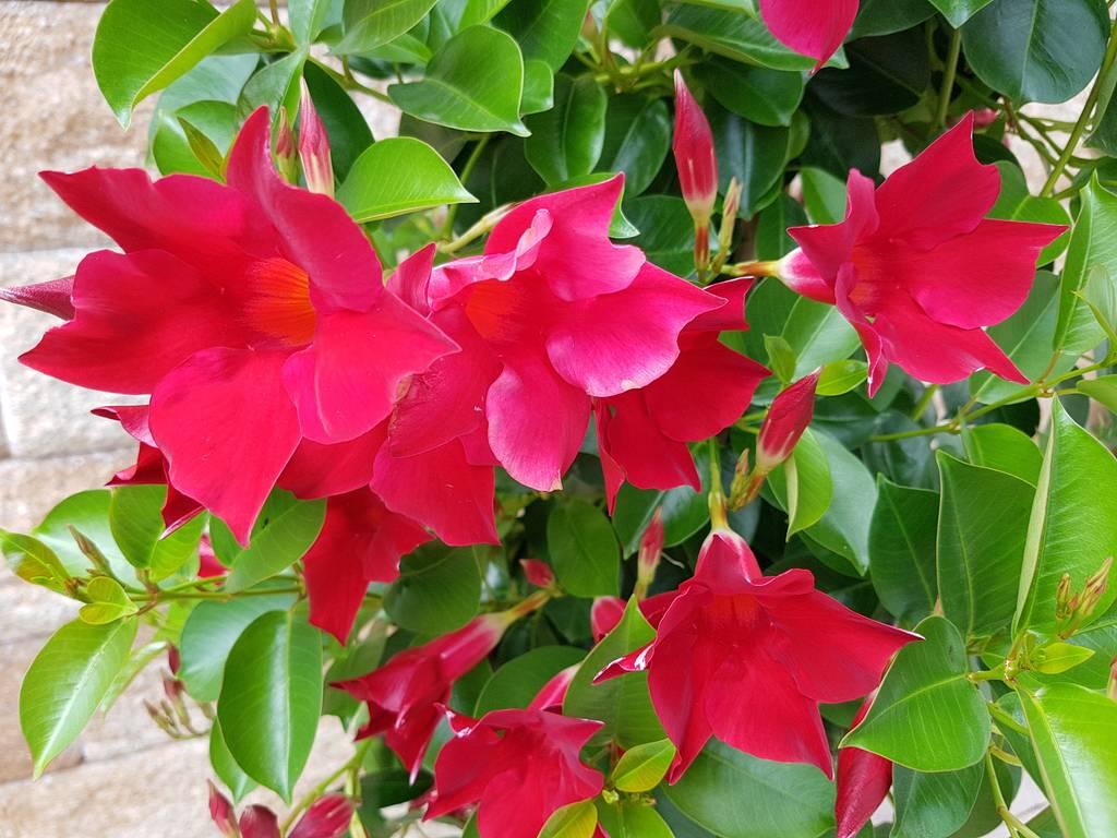 Kwiaty Sundaville Jak Uprawiac Rozmnazac I Zimowac Twojogrodek Pl