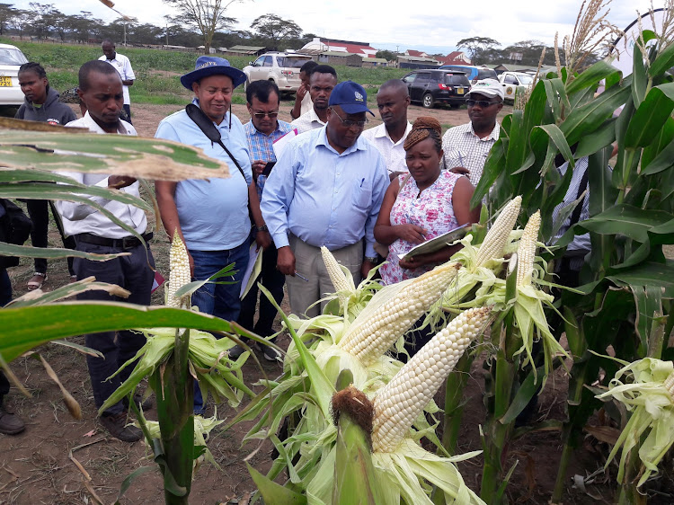 Maize breeders and researchers from KARLO observe the new maize hybrid that has been released in the market.