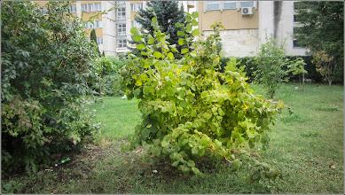 Photo: Alun ornamental (Corylus avellana) - de pe Str. Andrei Muresanu, spatiu verde al Spitalului Municipal - 2017.09.24