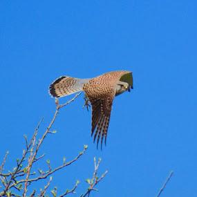Taking flight by Tonia Hernandez - Animals Birds ( hawkeye falcon hawk flight )