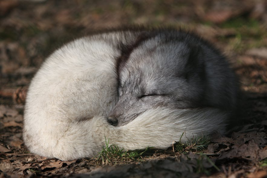 Arctic fox can be found in the Arctic regions hence in the Westfjords of Iceland