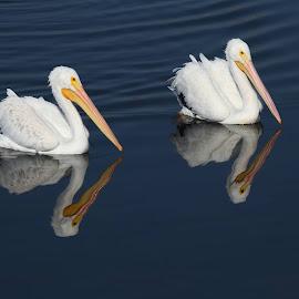 White Pelicans by Jeannine Jones - Animals Birds