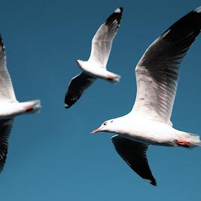 Togetherness  by Sam Symon - Animals Birds (  )