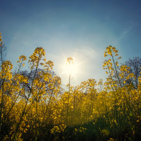 Yellow green blue by Anne-Cecile Pflieger - Landscapes Prairies, Meadows & Fields ( growing, yellow, sunlight, spring, farming, sun, field, rapeseed, annececilegraphic, sky, blue, flowers, flare, flower, rape,  )