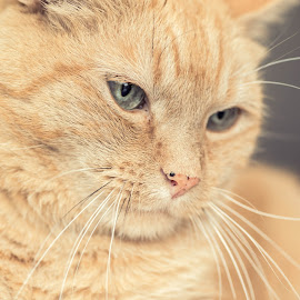 The boss. by Susan Pretorius - Animals - Cats Portraits